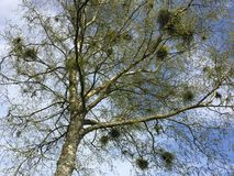 Mistletoe on spring branches Stock Image
