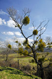 Mistletoe tree. Mistletoe growing on the branches of a tree royalty free stock photos