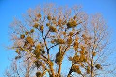 Mistletoe Tree. Mistletoe attacking old tree in a park near the beach in Gdansk, Poland Stock Image