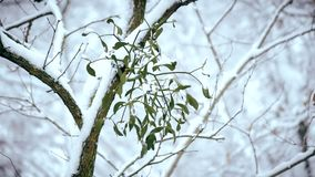 Mistletoe on tree branch outdoors in winter covered with falling snow stock video