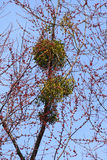 Mistletoe On A Tree. European mistletoe on a tree branch against blue sky stock photography
