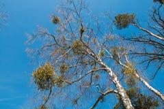 Mistletoe on a tree. Mistletoe growing on a tree Stock Photos