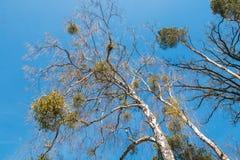 Mistletoe on a tree. Mistletoe hanging on a tree Stock Images