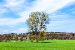 Mistletoe Tree In Landscape Stock Photo