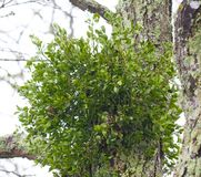 Mistletoe on a Tree Royalty Free Stock Image