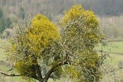 Mistletoe tree Royalty Free Stock Image