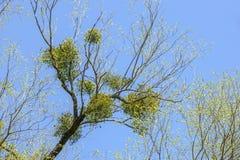 Mistletoe on tree Stock Photos