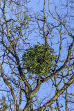 Mistletoe on tree Stock Images