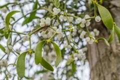 Mistletoe on a tree. Mistletoe with white berries growing on a tree stock images
