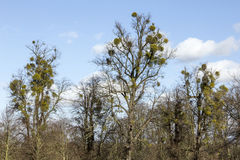 Mistletoe in Trees Royalty Free Stock Images