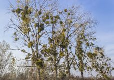 Mistletoe on Trees. Common or European mistletoe Viscum album in shape of green bushes on trees on a sunny day royalty free stock photography