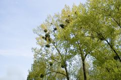 Mistletoe on trees. Evergreen mistletoe growing on spring trees royalty free stock photo