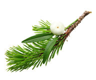 Mistletoe twig and fir tree branch Royalty Free Stock Image