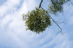 Mistletoe on twig Stock Images