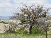 mistletoe Um arbusto parasítico sempre-verde que viva às expensas de outras árvores fotos de stock