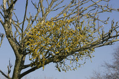 Mistletoe,  Viscum album, Gloucestershire Royalty Free Stock Photos