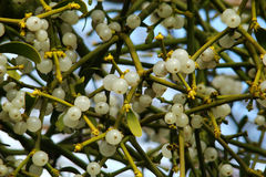 Mistletoe. (viscum album) on tree stock images