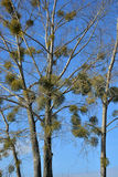 Mistletoe or Viscum album on the tree Royalty Free Stock Photography