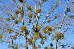 Mistletoe or Viscum album on the tree Stock Photo