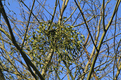 Mistletoe  (Viscum) Royalty Free Stock Images