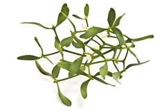 Mistletoe on white. Green mistletoe on white background royalty free stock photography
