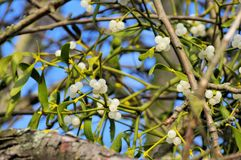 Mistletoe. The white berries from mistletoe royalty free stock photo