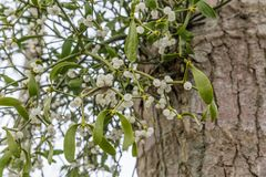 Mistletoe on a tree. Mistletoe with white berries growing on a tree royalty free stock photo