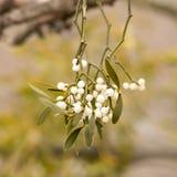 Mistletoe white berries Stock Photography