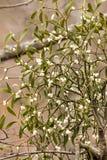 Mistletoe white berries Stock Images
