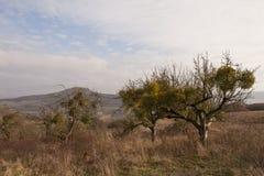 Mistletoe on wild tree Stock Photos