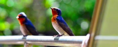 2 Mistletoebird Стоковые Изображения