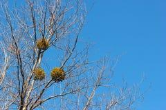 Mistletoes på ett träd på tidig vår Royaltyfri Fotografi