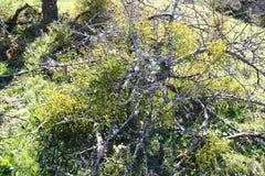 Mistletoes, sprigs of mistletoe parasite in apple tree in winter. Mistletoes, sprigs of mistletoe parasite in an apple tree in winter Royalty Free Stock Image
