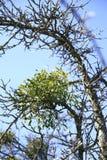 Mistletoes, sprigs of mistletoe parasite in apple tree in winter. Mistletoes, sprigs of mistletoe parasite in an apple tree in winter Royalty Free Stock Photo