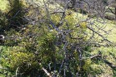 Mistletoes, sprigs of mistletoe parasite in apple tree in winter. Mistletoes, sprigs of mistletoe parasite in an apple tree in winter Royalty Free Stock Photos
