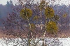 Mistletoes on a tree Royalty Free Stock Photos