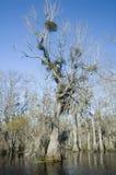 mistletoeswamp Royaltyfri Fotografi