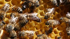 Mistress bee colonies queenin the summer puts up to 1,000 eggs per day. It is necessary for the reproduction of bees. stock video