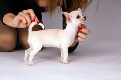 The mistress keeps puppy Chihuahua. On gray background Royalty Free Stock Image