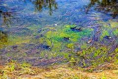A mistura da cor de algas verdes e de grama amarela sob a água Fotografia de Stock Royalty Free