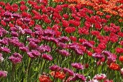 Mistura da tulipa com as flores vermelhas e cor-de-rosa Fotografia de Stock Royalty Free