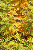 Mistura das folhas que giram amarelas Fotografia de Stock Royalty Free