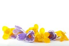 Mistura de açafrões azuis e amarelos Fotografia de Stock Royalty Free
