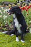 Mistura de border collie na frente das tulipas Fotografia de Stock Royalty Free