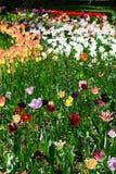 Mistura de cores da tulipa no jardim botânico de Cluj Imagens de Stock Royalty Free