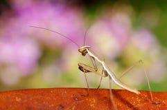 Mistura do Mantis com fundo cor-de-rosa imagem de stock royalty free