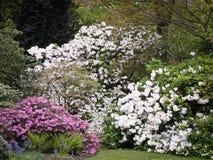 Mistura do rododendro Imagens de Stock