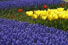 Mistura do Tulip, sorte Kikomachi fotos de stock