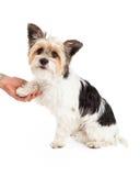 Mistura do yorkshire terrier que agita as mãos fotos de stock royalty free