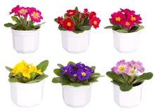 Mistura dos Primulas foto de stock royalty free